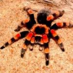 334_tarantula